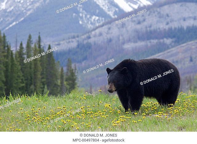Black Bear (Ursus americanus) in a field of Dandelions (Taraxacum officinale), Jasper National Park, Alberta, Canada