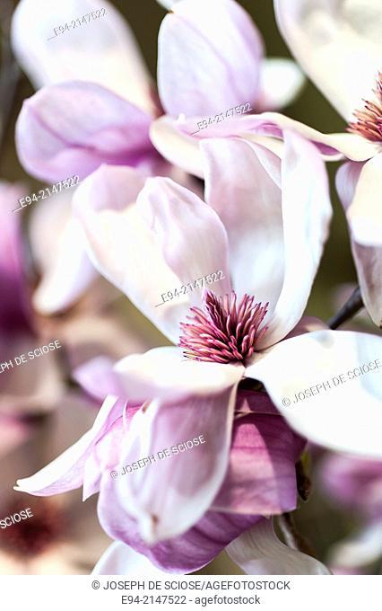 Close up of a saucer magnolia flower