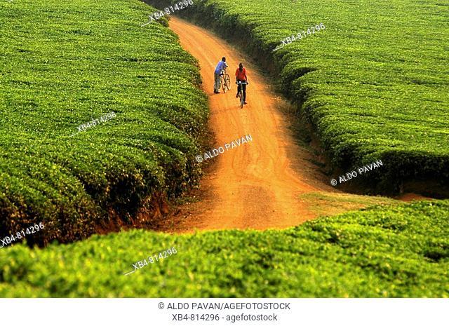 Tea fields around Kabale, Uganda