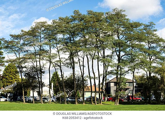 group of trees on the campus of Langara College, Vancouver, BC, Canada