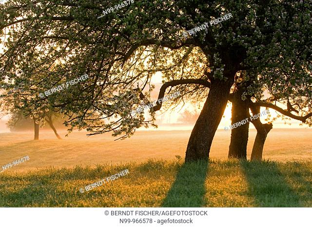 Orchard, appletrees in flower, sunrise and morning fog, Franconian Switzerland, Bavaria, Germany