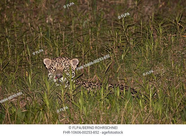Jaguar Panthera onca adult, laying in vegetation at night, Pantanal, Mato Grosso, Brazil