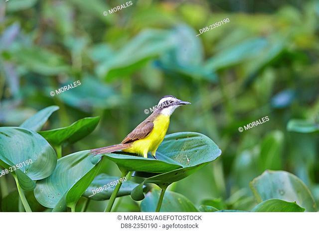 South America, Brazil, Mato Grosso, Pantanal area, Lesser Kiskadee Philohydor lictor adult, perched