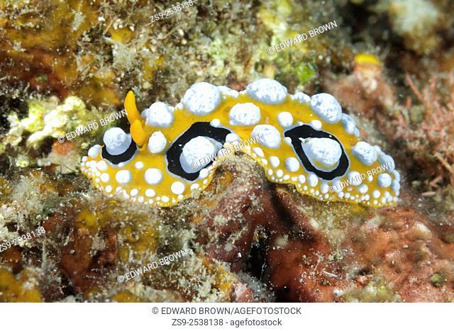 Phyllidia ocellata nudibranch, Lembeh Strait, Indonesia