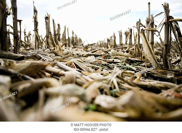 Surface level view of dried stalks in harvested field