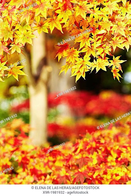 Acer palmatum osakazuki in autumn at the Royal Botanical Garden. Madrid. Spain