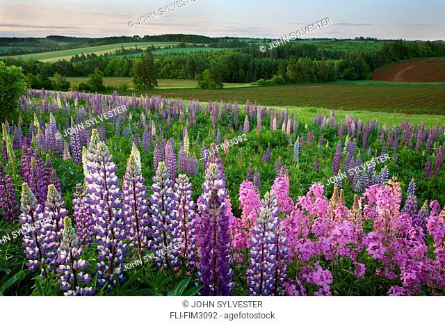 Landscape of Lupins and Phlox, Clinton, Prince Edward Island