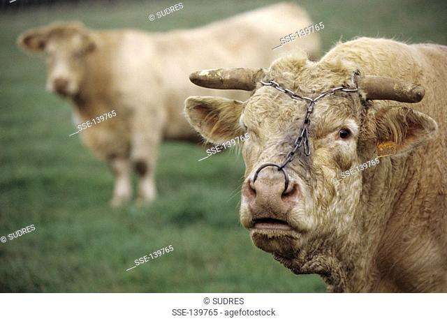 Charolais bull and cow at L'Isle-sur-Serein