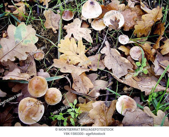 Oak Leaves and mushrooms