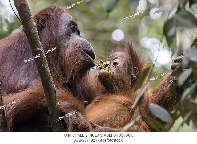 Mother and baby Bornean orangutan, Pongo pygmaeus, Camp Leakey, Borneo, Indonesia