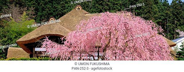 Cherry Blossoms & Old House Former Samurai Residence, Aizu-Wakamatsu, Fukushima, Japan