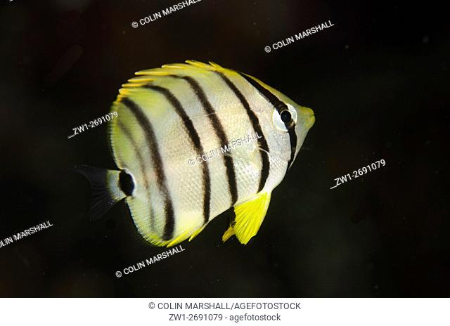 Eight-banded Butterflyfish (Chaetodon octofasciatus), Night dive, Wagmab dive site, Balbulol Island, Misool, Raja Ampat (4 Kings), West Papua, Indonesia