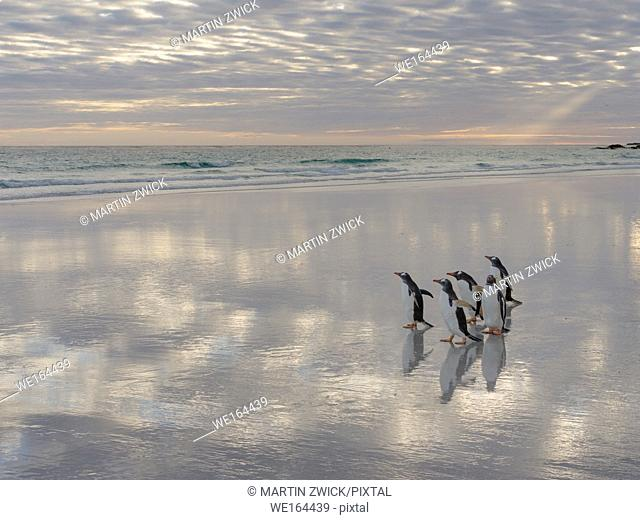 Gentoo Penguin (Pygoscelis papua) on the sandy beach of Volunteer Point. South America, Falkland Islands, January