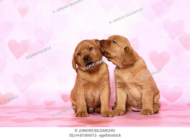 Labrador Retriever. Two puppies (6 weeks old) sitting next to each other, one chewing on the others ear. Studio picture seen against a pink background with...