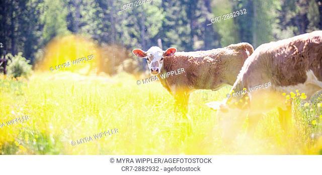 Swedish cows enjoying the summer