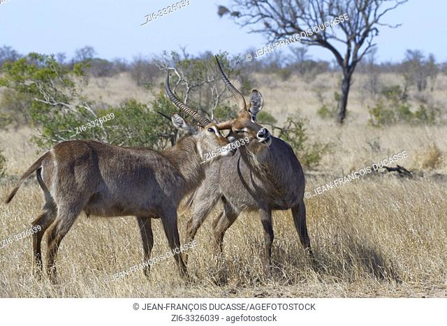 Common waterbucks (Kobus ellipsiprymnus), two adult males fighting in the dry grassland, Kruger National Park, South Africa, Africa