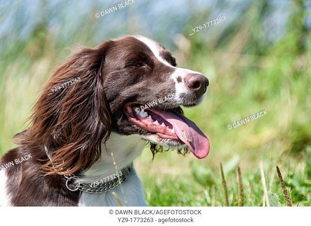 Female Klein Munsterlander Heiderwachtel or German Springer Spaniel Head Shot