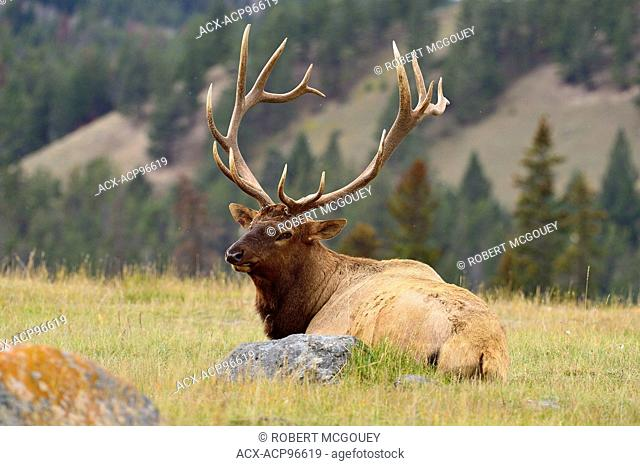 A large bull elk Cervus elaphus, laying down in a grassey meadow in Jasper National Park, Alberta, Canada