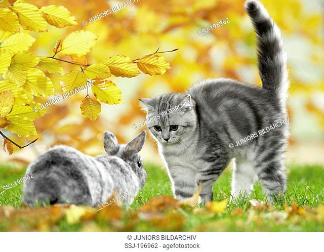 British Shorthair. Cat meeting a dwarf rabbit, arching its back. Germany
