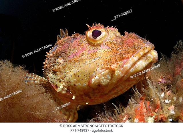 Northern scorpionfish (Scorpaena cardinalis). Middle Arch, Poor Knights Islands. New Zealand, South Pacific Ocean