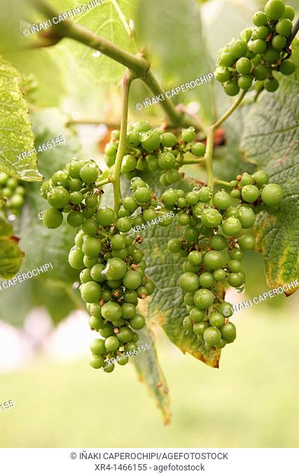 Bunch of grapes, Zarautz, Guipuzcoa, Basque Country, Spain
