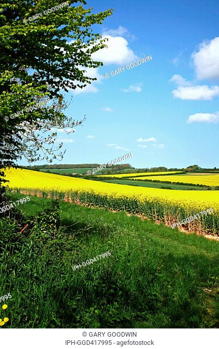 A spring view across colourful rapeseed fields looking towards the village of Whitcombe from West Knighton