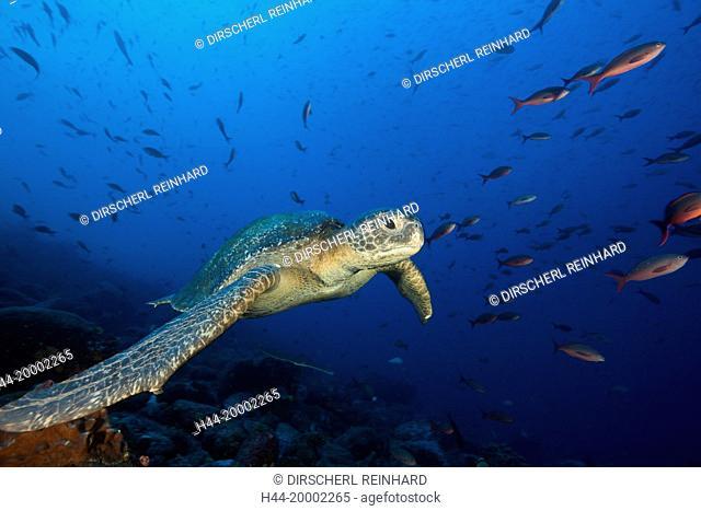 Green Sea Turtle, Chelonia mydas, Galapagos, Wolf Island, Ecuador