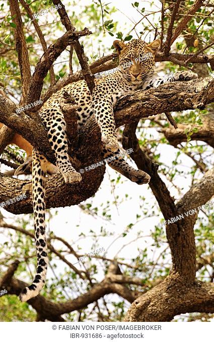 Leopard (Panthera pardus) in a tree, near Seronera, Serengeti National Park, Tanzania, Africa