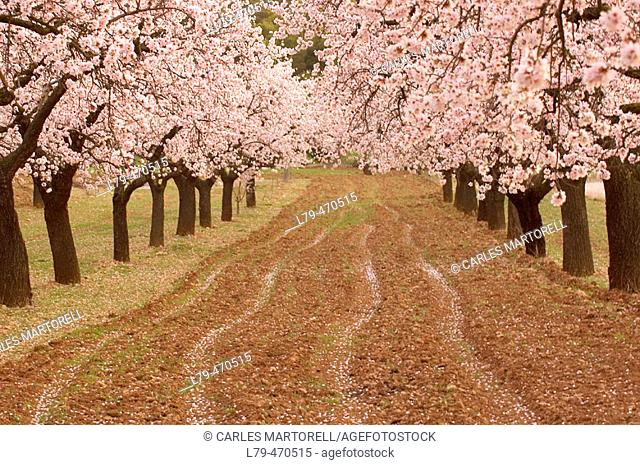 Almond trees field near Valderrobres. Teruel province. Spain