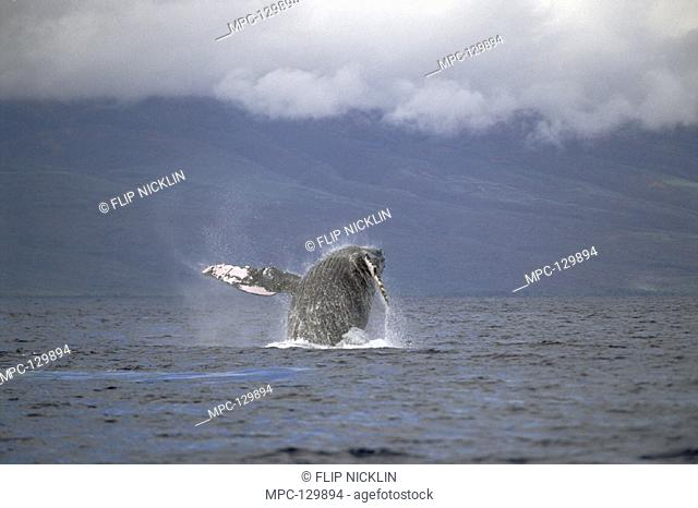 HUMPBACK WHALE (Megaptera novaeangliae),  BREACHING, MAUI, HAWAII. NOTICE MUST  ACCOMPANY PUBLISHED PHOTO PHOTO OBTAINED  UNDER N.M.F.S. PERMIT #987