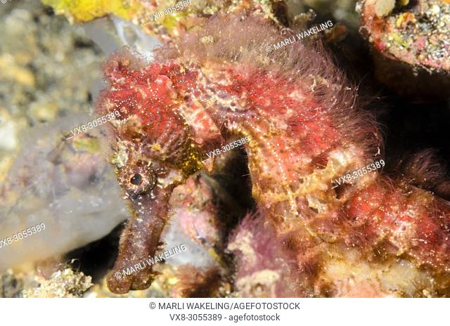 Hedgehog seahorse, Hippocampus spinosissimus, Lembeh Strait, North Sulawesi, Indonesia, Pacific, endangered