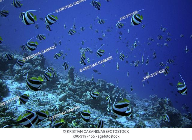 Schooling Banner fish (Heniochus diphreutes), Indian Ocean, Maledives, South Asia