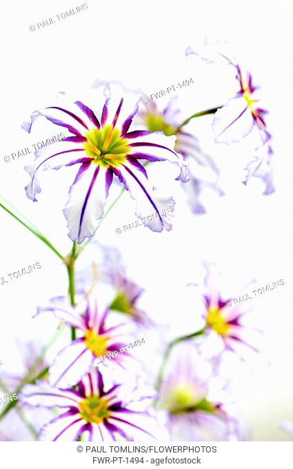 Andean glory of the sun lily, Leucocoryne vittata, Close top view of several white flowers with purple stripes and yellow centres creating a pattern