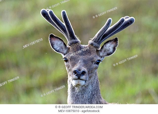 Red Deer - stag in velvet - close up of head (Cervus elaphus). North Uist - Outer Hebrides
