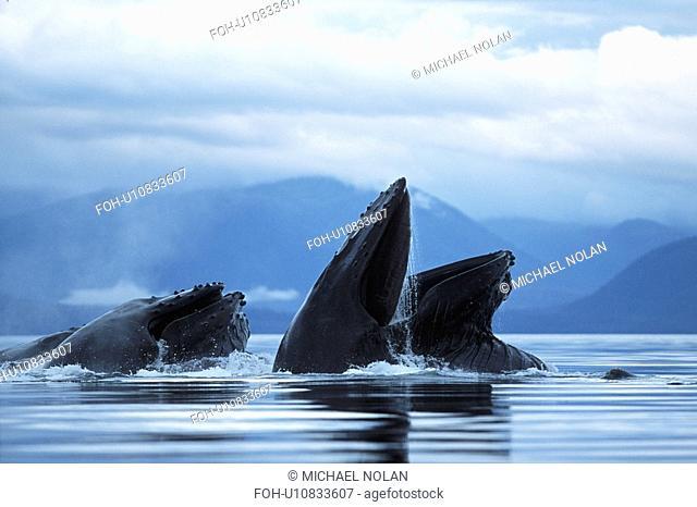 Adult Pacific Humpback Whales, Megaptera novaeangliae, cooperatively bubble-net feeding, Southeast Alaska
