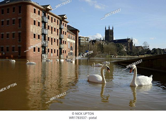 Mute swans (Cygnus olor) swimming near the Old Cornmill after Worcester was inundated by the River Severn bursting its banks, Worcester, Worcestershire, England