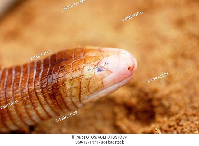 Worm lizard, Amphisbaenia, Lacertilia, Rio Branco, Acre, Brazil, 2010