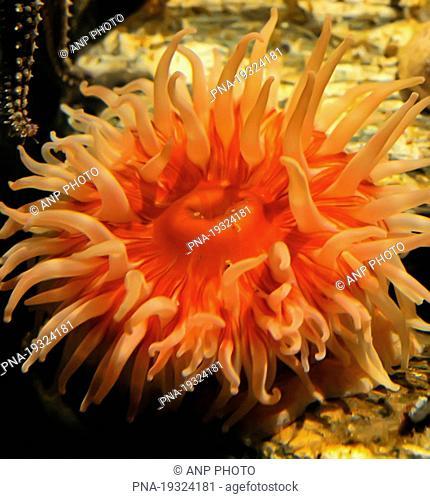 Beadlet anemone Actinia equina - Deutsches Meeresmuseum, Stralsund, Mecklenburg Western Pomerania, Mecklenburg-Vorpommern, Germany, Europe