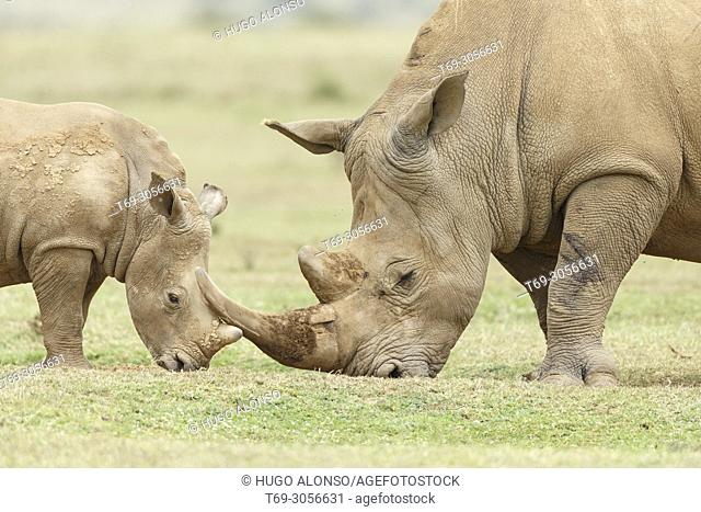 Adult and young. White rhinocero or square-lipped rhinocero. Ceratotherium simum.. Kenia. Africa.. Kenia. Africa