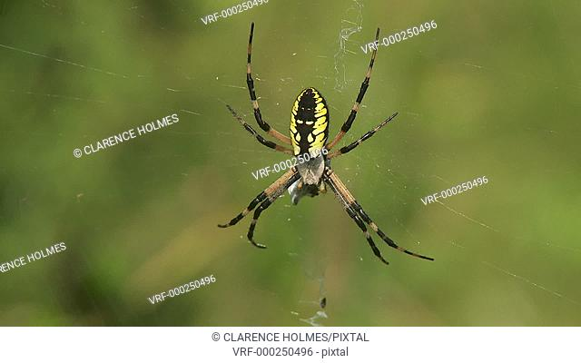 A female Black and Yellow Argiope (Argiope aurantia) spider waits on its web for prey