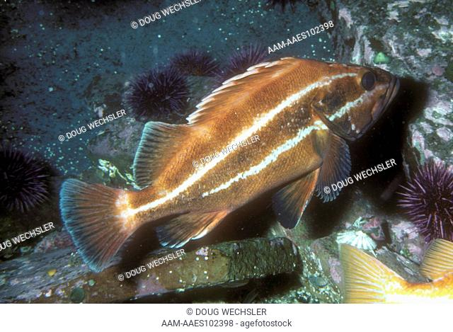 Yelloweye Rockfish (Sebastes ruberrimus) S. Alaska to N. Baja