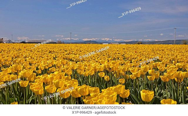 This stunning spring time landscape show a massive field of yellow tulips in full bloom in a rural setting with mountains in the background Shot in Skagit...
