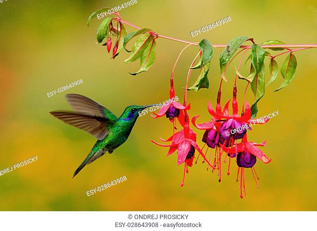Green hummingbird Green Violet-ear, Colibri thalassinus, flying