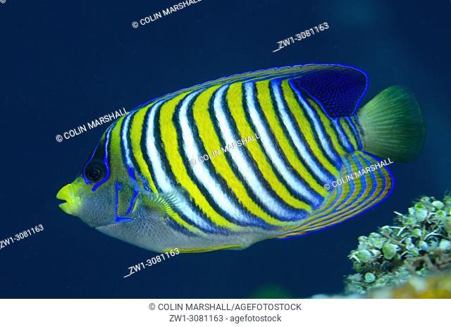 Regal Angelfish (Pygoplites diacanthus, Pomacanthidae family), USAT (US Army Transport) Liberty wreck dive site, Tulamben, east Bali, Indonesia