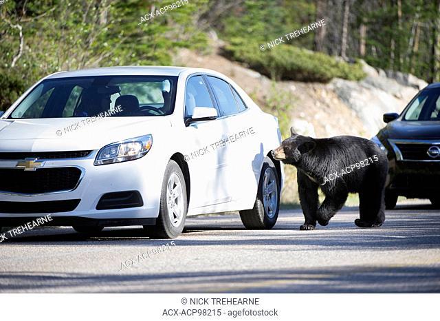 Ursus americanus, black bear, rocky mountains, Alberta, Canada, road, vehicle