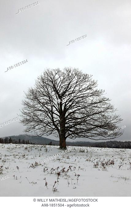 Single Sycamore Maple Tree on field at winter, Sumava National Park, Bohemia, Czech Republic, Europe