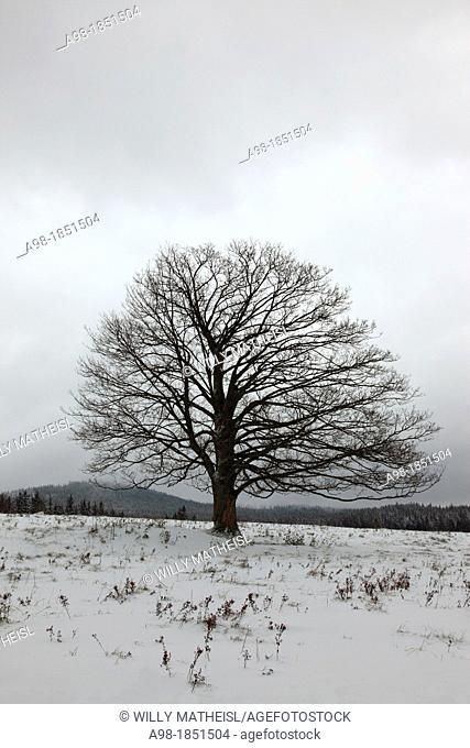 Single Sycamore Maple Tree on field at winter, Sumava National Park, Bohemia, Czech Republic, Europe