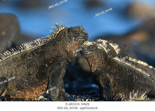 Galapagos Marine Iguanas Fernandina Galapagos Islands Ecuador Amblyrhynchus cristatus side