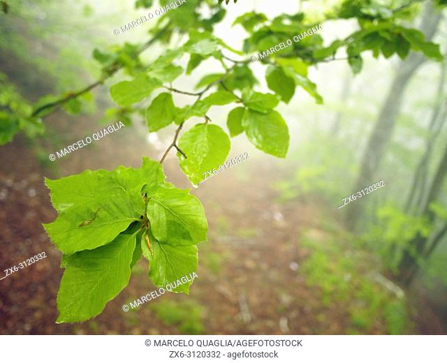 Misty beech forest (Fagus sylvatica) with leaves closeup. Springtime at Montseny Natural Park. Barcelona province, Catalonia, Spain