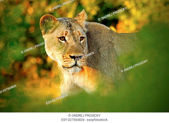 Hidden portrait of lion female. African lion, Panthera leo